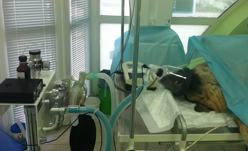 Анестезия животных при проблемах сердца в белаурси
