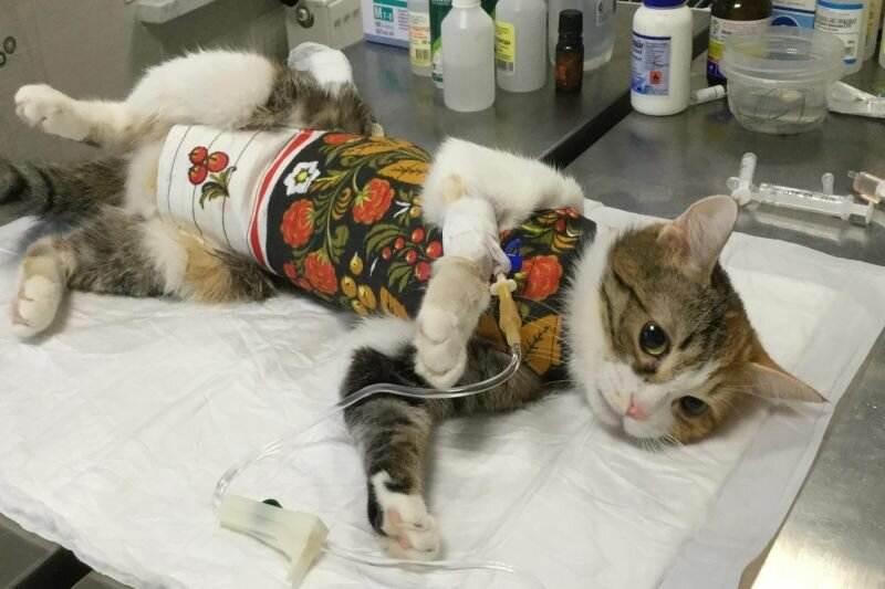 "Уход за кошкой после операции | блог ветклиники ""беланта"""
