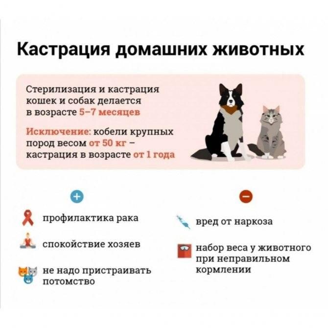 Кастрировать ли кота - доводы за и против кастрации, вред и польза от процедуры