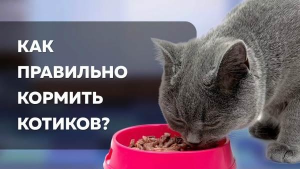 Как кормить кастрированного кота правильно: советы ветеринаров по режиму питания для натурального, сухого и влажного корма