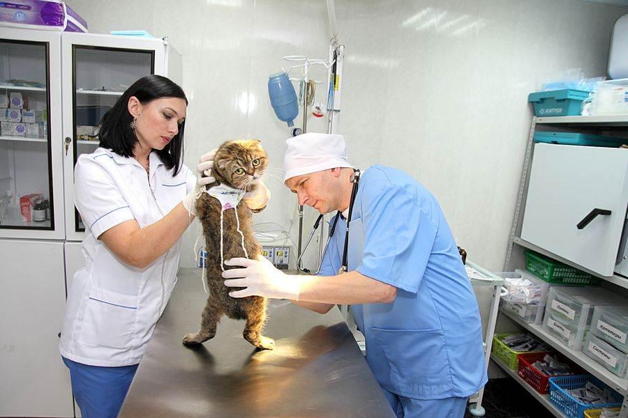 Стерилизация кошек, как это происходит - где лучше делать стерилизацию кошек и котов