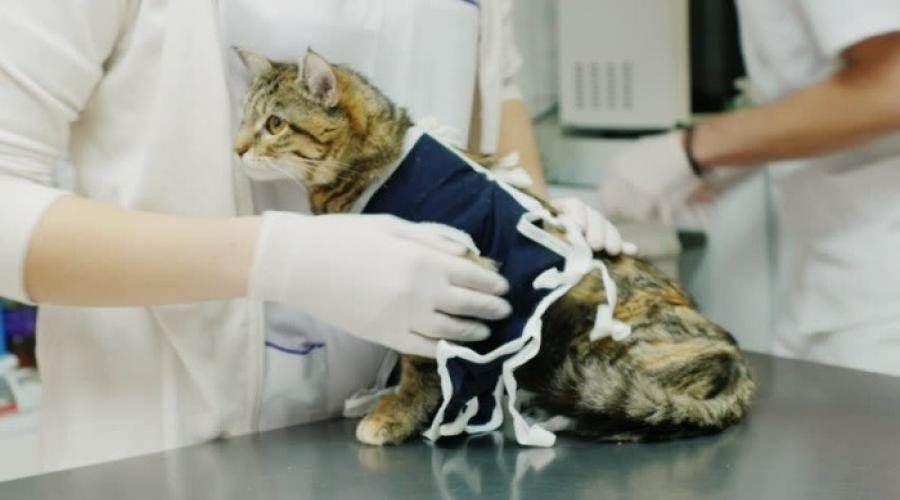 Кот после кастрации: как ухаживать за животным в первые дни, когда его можно кормить и мыть? - kotiko.ru