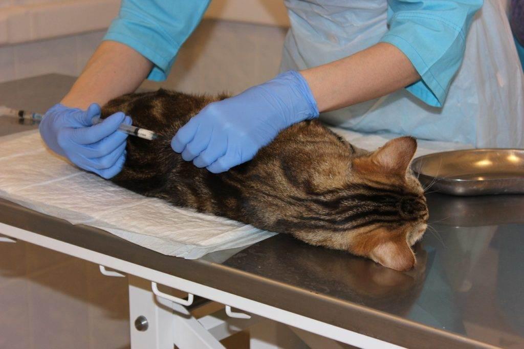 Кастрация кота. описание, особенности и цена процедуры кастрации кота | живность.ру