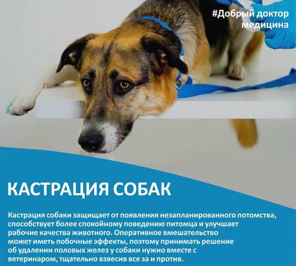Стерилизация собак - возраст, плюсы операции, проведение и уход за швом