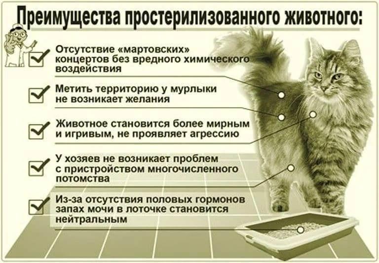 Кастрация кота: плюсы и минусы операции и совет ветеринара кастрировать или нет