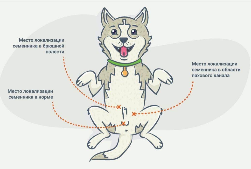 Когда нужно стерилизовать щенка - особенности стерилизации собак