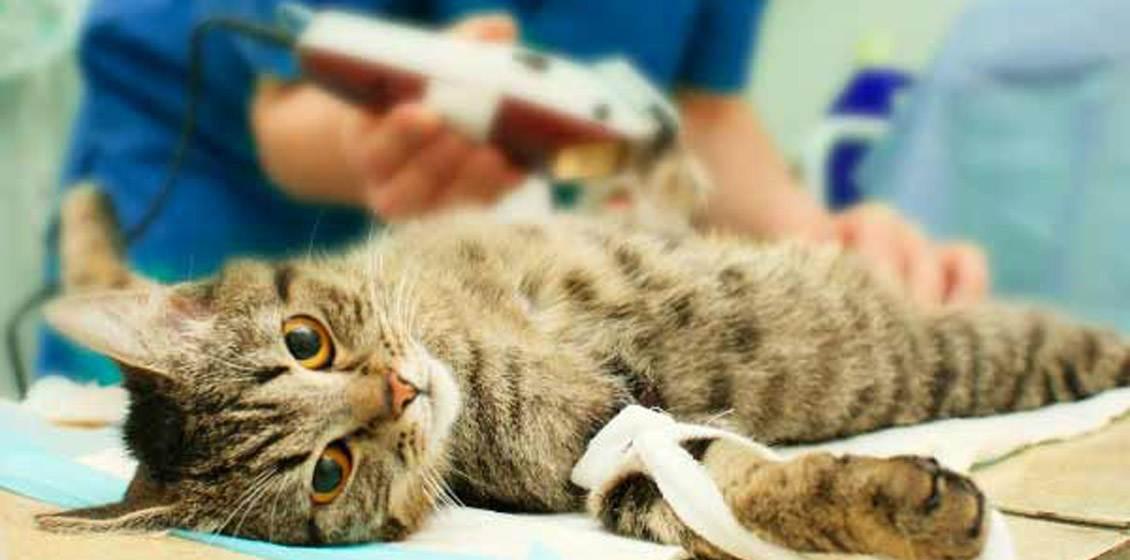 Уход за кошкой после стерилизации: советы в первые 7 дней