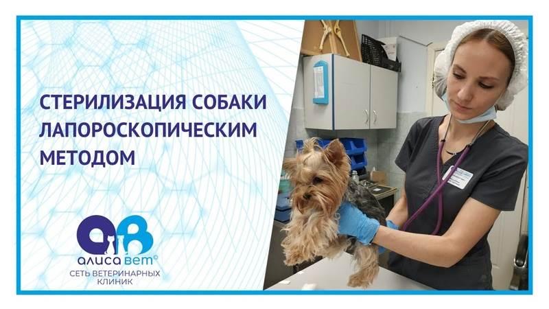 Лапароскопическая ( эндоскопическая) стерилизация кошек, без швов по цене обычной стерилизации.